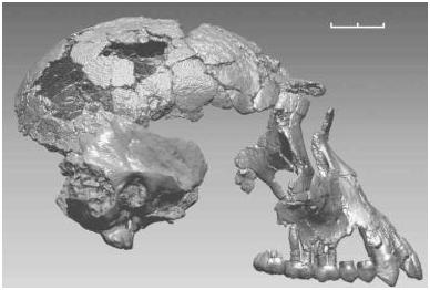 3D-reconstructie van de schedel van Ardipithecus ramidus alias Ardi (Illustratie Science)
